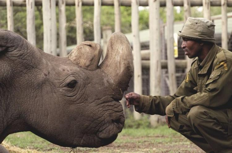Worlds last male northern white rhino dies in Kenya