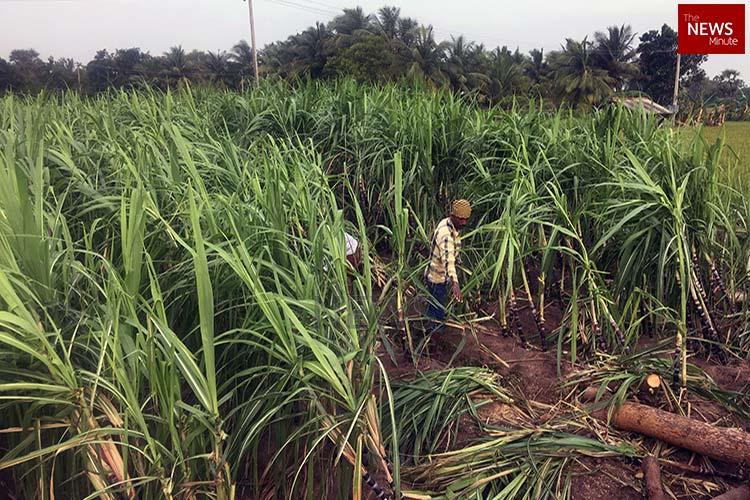 No sugarcane for Pongal rue farmers in Thanjavur after Cyclone Gaja razes crops