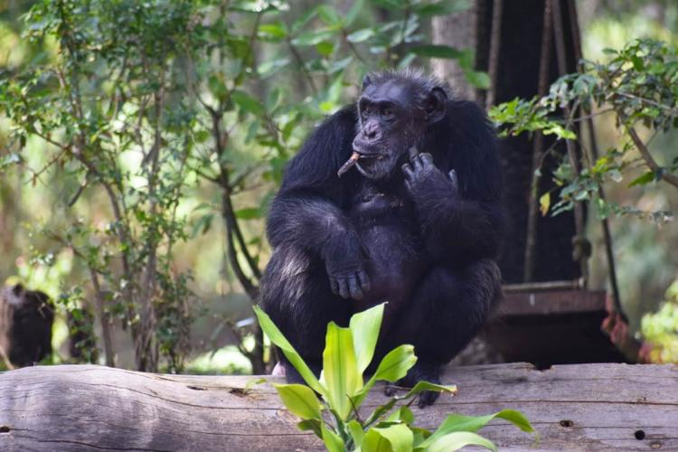 Suzi the Chimpanzee looking away from the camera with a twig in her mouth