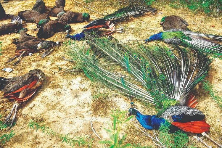 43 peafowl die of poisoning in Madurai village