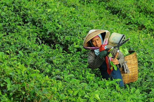 Indias tea capital can recover from devastating floods if the govt gets its act together