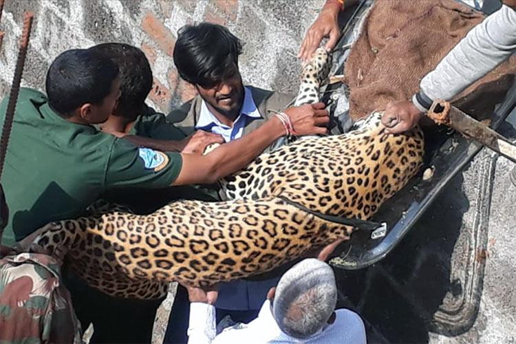 Leopard found sleeping on terrace in outskirts of Hyderabad moved to zoo