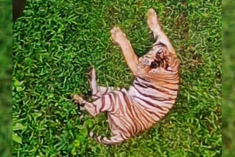 The tiger which mauled man to death in Kerala spotted in surveillance drone camera