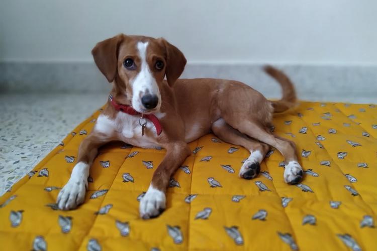 Anjana Balakrishnans indie dog named Her Majesty Begum Pathumma sits on a yellow mattress