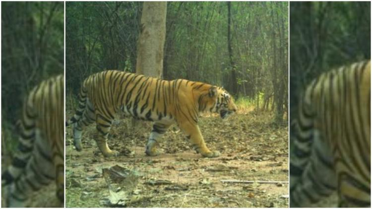 After 2 tiger deaths Telangana govt mulls special protection force against poaching