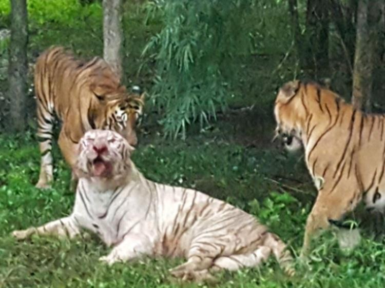 Big cat fight White tiger dies at Bannerghatta Park after Royal Bengal tigers attack