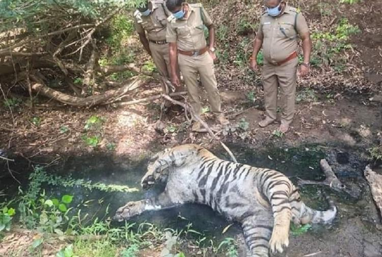 Three police officials look down at the carcass of a tiger which was killed in Tamil Nadus Annamalai Reserve