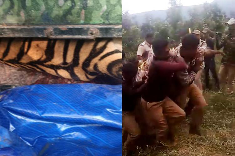 Tiger suspected to have killed two people in Kodagu captured