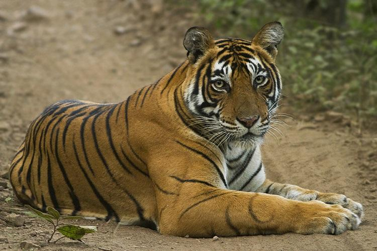 Tracking the most elusive predator Secrets of the tigers life revealed