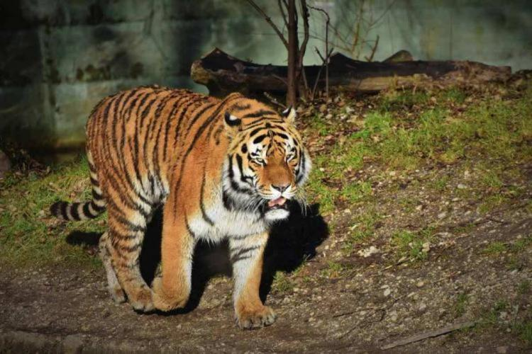 A tiger walking through forest