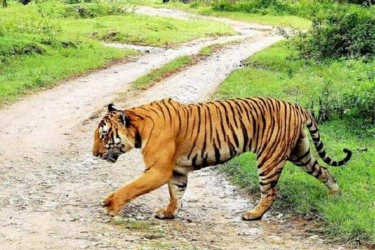 Tiger crossing a road