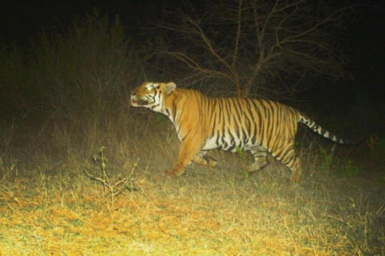 A tiger in the wild captured in a camera trap