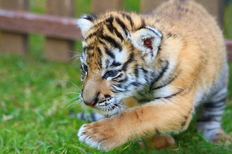 Tiger cub walking