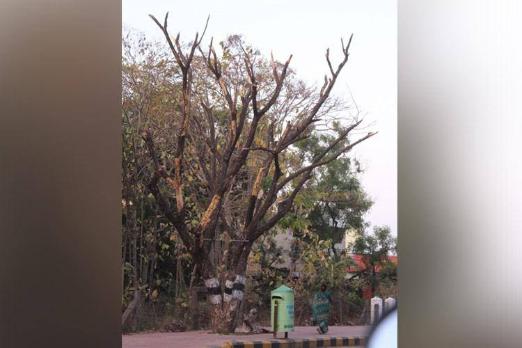 75 trees along TNs Girivalam path dead Were they poisoned