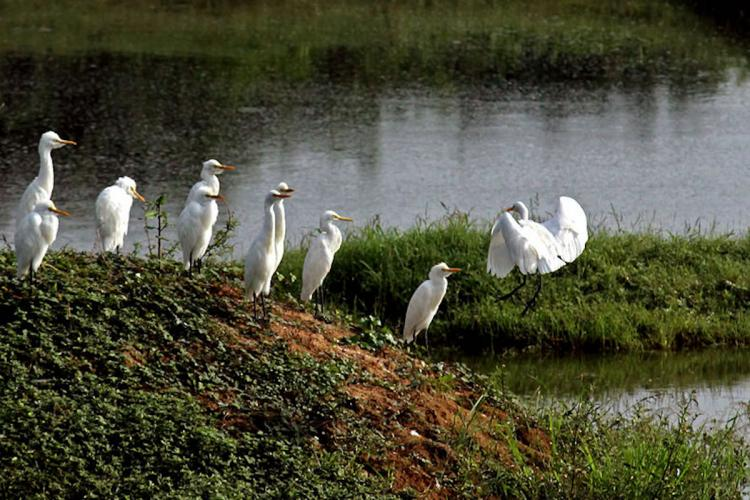 Egret landing on an island in Vedanthangal photo taken by by KarthikEasvur