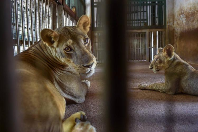 9 lions test positive at Chennai zoo Representative picture of a lioness with her cub inside an enclosure at the famous Arignar Anna Zoological Park at Vandalur Chennai
