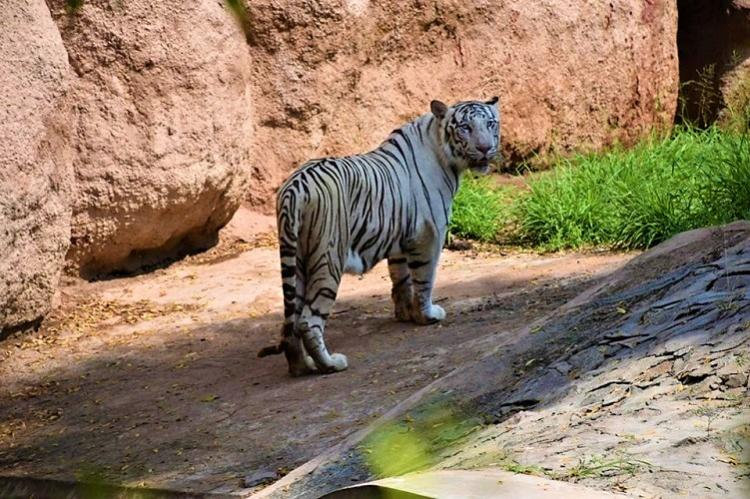 Vinay 21-year-old Royal Bengal tiger at Hyderabad zoo passes away