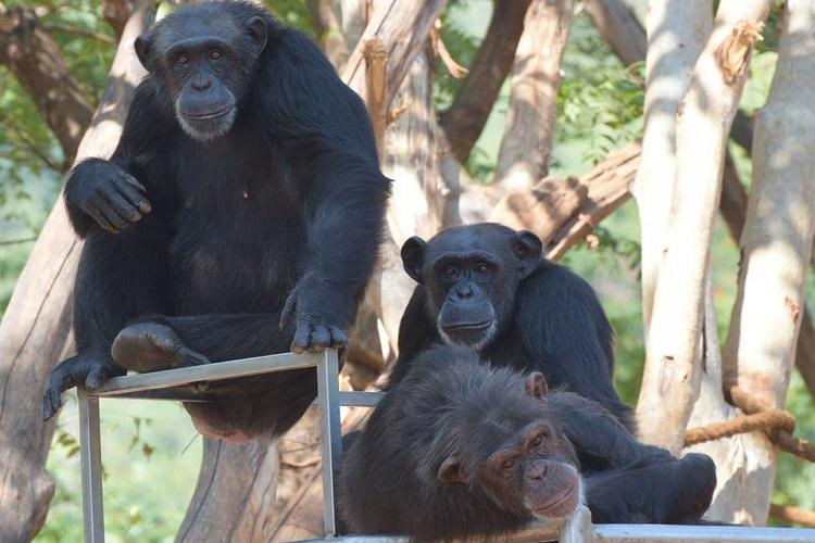 Two chimpanzees escape from Vizag zoo authorities bring them back to their enclosure