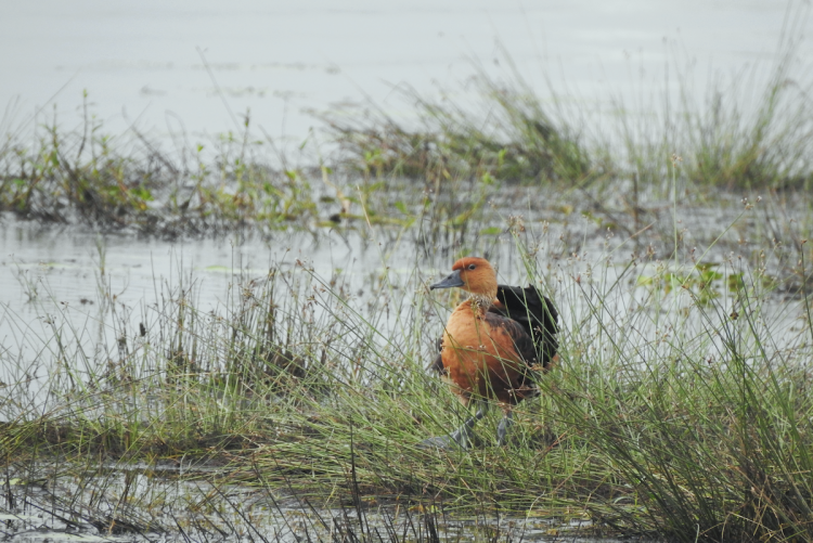 A fulvous whistling duck sits on a grassy patch of a land in a wetland in Tamil Nadu