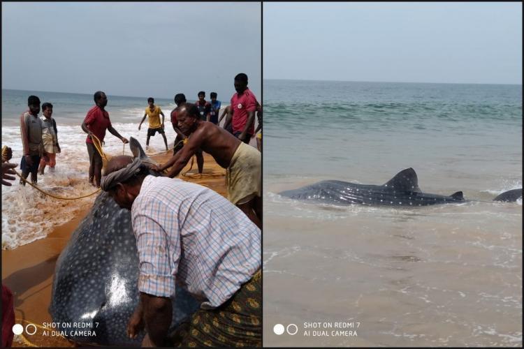 Fishermen in Keralas Thiruvananthapuram releasing a whale shark caught in their net into the sea
