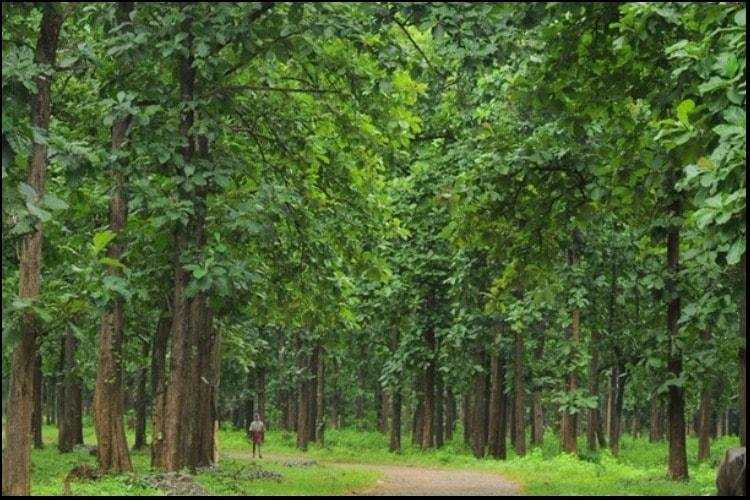 Kerala S Nilambur Teak One Of The Most Sought After Woods