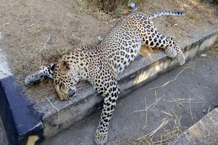 Leopard dies in accident Are highways new death traps for wildcats in Telangana