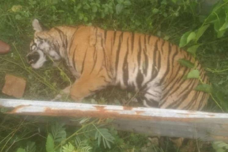 Tiger found dead in Bandipur Tiger Reserve suspected to have been hit by vehicle