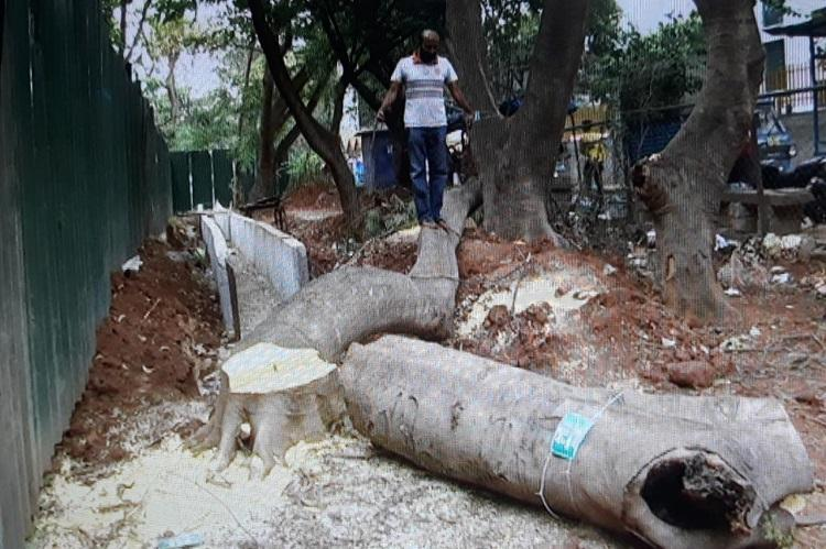 Despite HC ban on felling five trees axed in Bengaluru for road widening