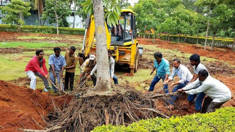 A tree being translocted by several men They are trying to uproot the tree to then translocate it
