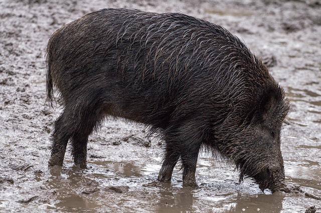 Shoot to kill Telangana allows wild boar hunting to protect crops