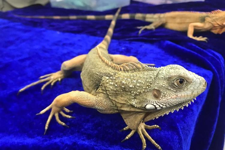 Exotic species of marmosets iguanas being smuggled rescued at Chennai airport 3 held