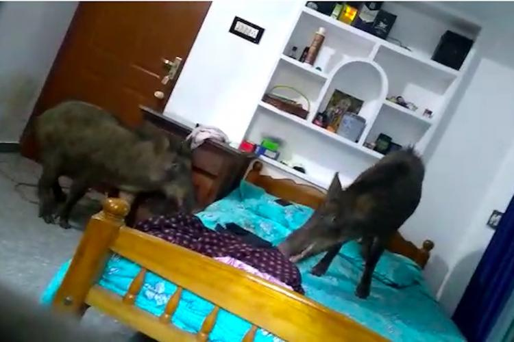 Two wild boars inside a bedroom