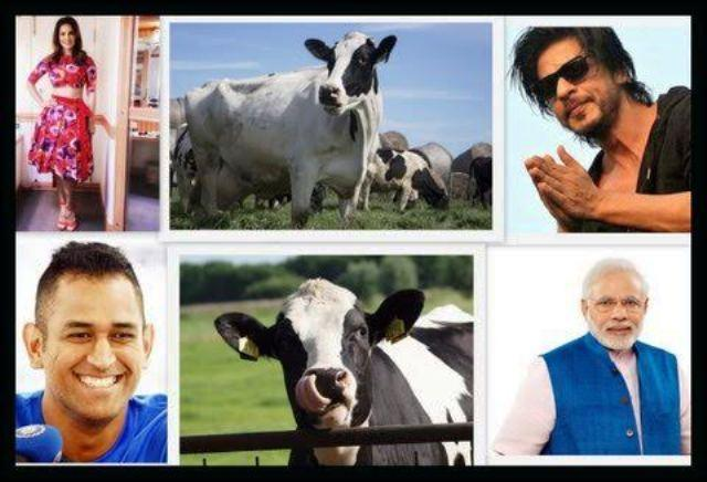Move aside Sunny Leone and SRK the Cow is the most popular personality of 2015