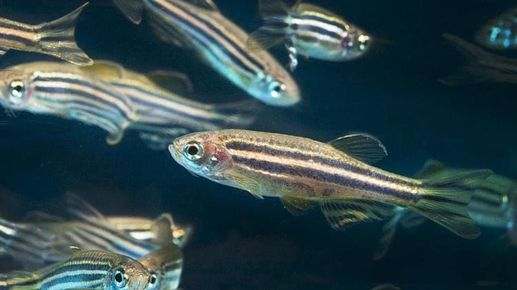 Hyd scientists hopeful about cancer research after tests on Zebrafish show bright results
