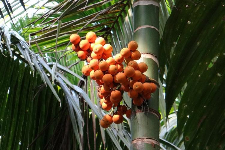 Bright orange arecanut visible on the tree against dark areca palm
