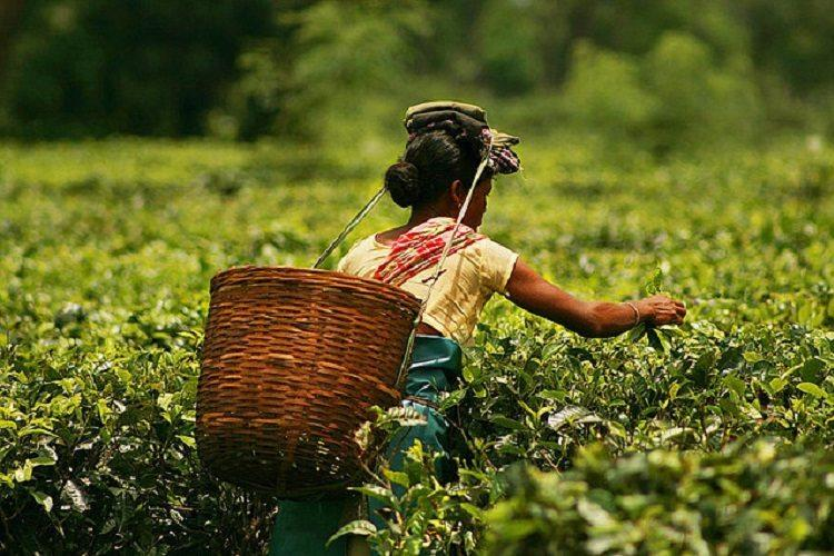 Small tea growers in Assam to get land rights for first time