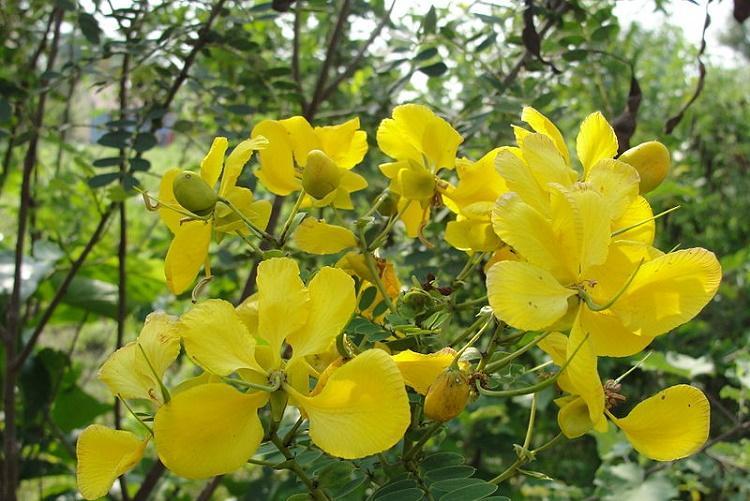 Green tea is pass Discover the wonders of avaram flower tea