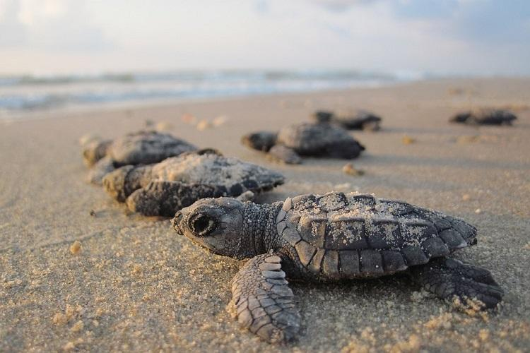 As Olive Ridley nesting season ends nearly 70000 turtles released from Vizag coast