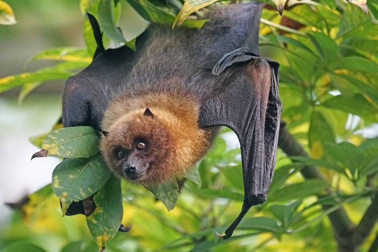 Bat hanging in a tree pixabay image