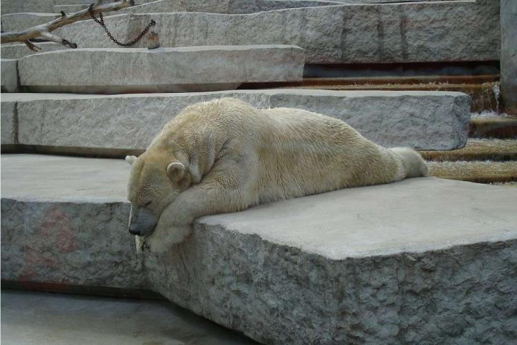 Polar bear sleeping on a slab of rock