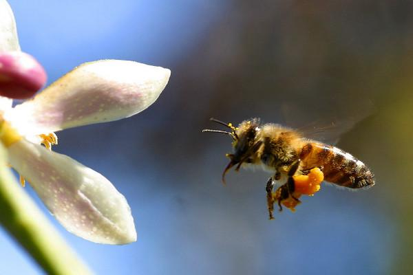Next-generation flying robots could be inspired by bees scientists create breakthrough model