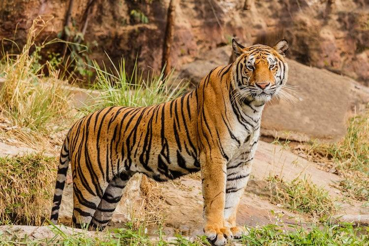 Latest estimates show tiger count in India has increased to 2967 10 things to know