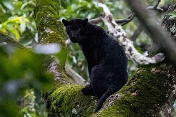 Black panther in Mysuru districts Kabini