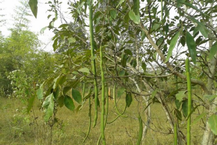 Trees in BU campus