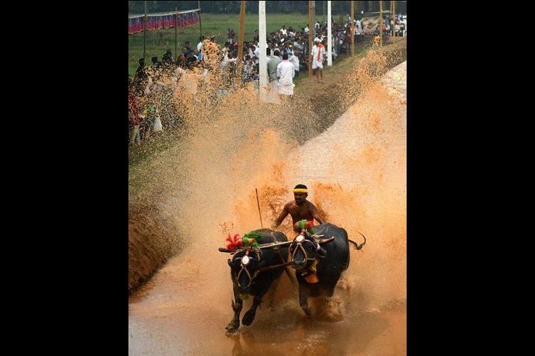 Not animal cruelty Ktaka HC allows annual buffalo festival in Udupi