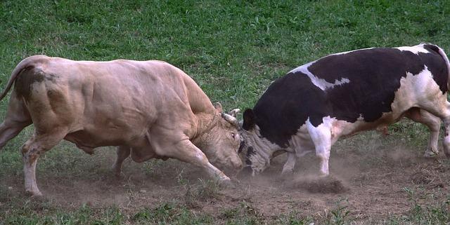 Is bullfighting Goas worst kept secret