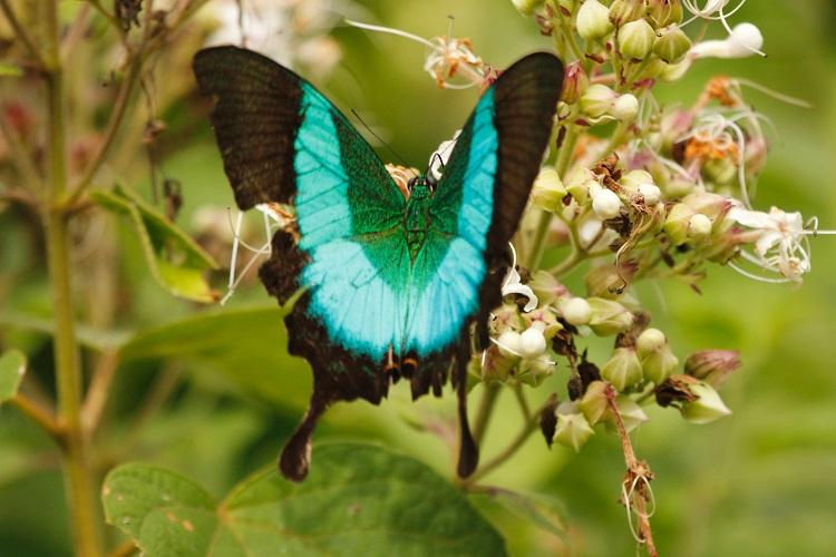Beauty on wings Rare Malabar Banded Peacock butterfly spotted in TN for first time