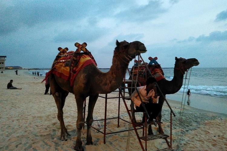 Panambur beach camels sent back to Rajasthan after activists raise objections to joy ride