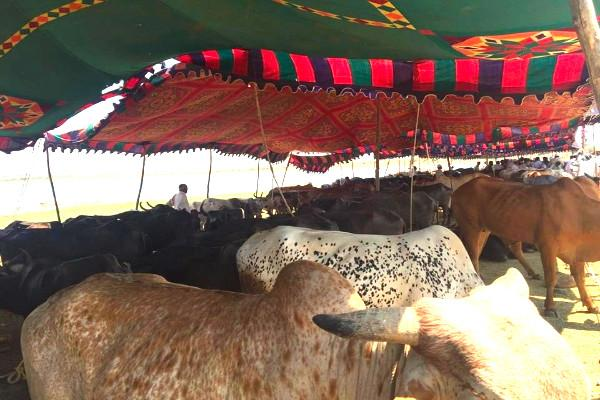 Distressed cattle farmers in Telangana have reason to cheer govt launches rehabilitation camp