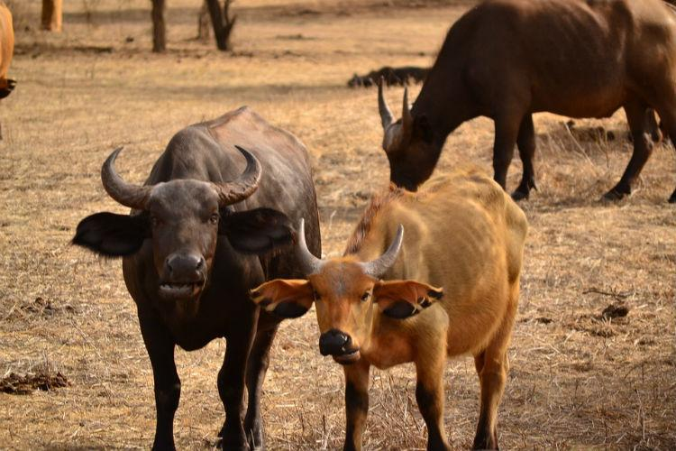 To combat Centres slaughter rules Kerala meat traders to start their own cattle farms